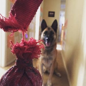 Close up of dog toy hanging by its last thread with the dog in the background waiting to play.
